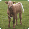 Cattle herd register